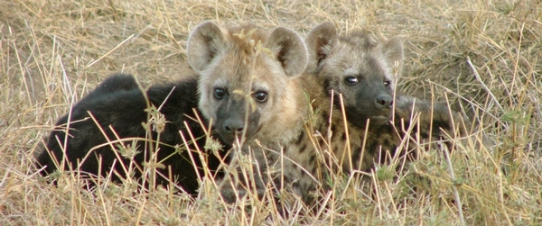 Jenn_Smith_Hyena_Cubs